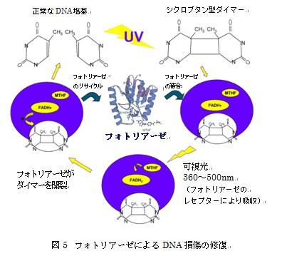 光回復酵素含有リポソームでDNA...