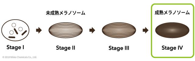ステージ別成熟メラノソーム