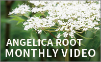 MONTHLY VIDEO - ANGELICA ROOT
